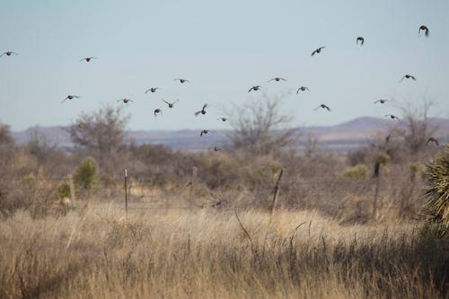 West Texas Quail Hunting